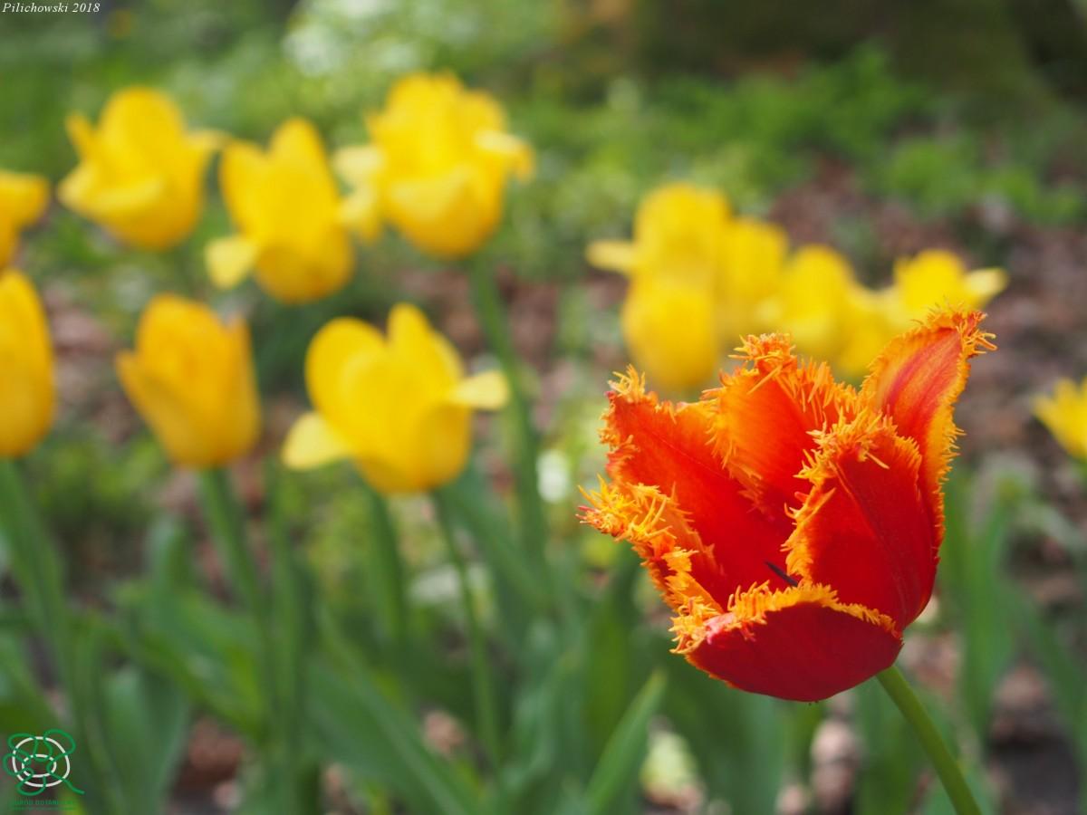 Tulipany 30.04.2018