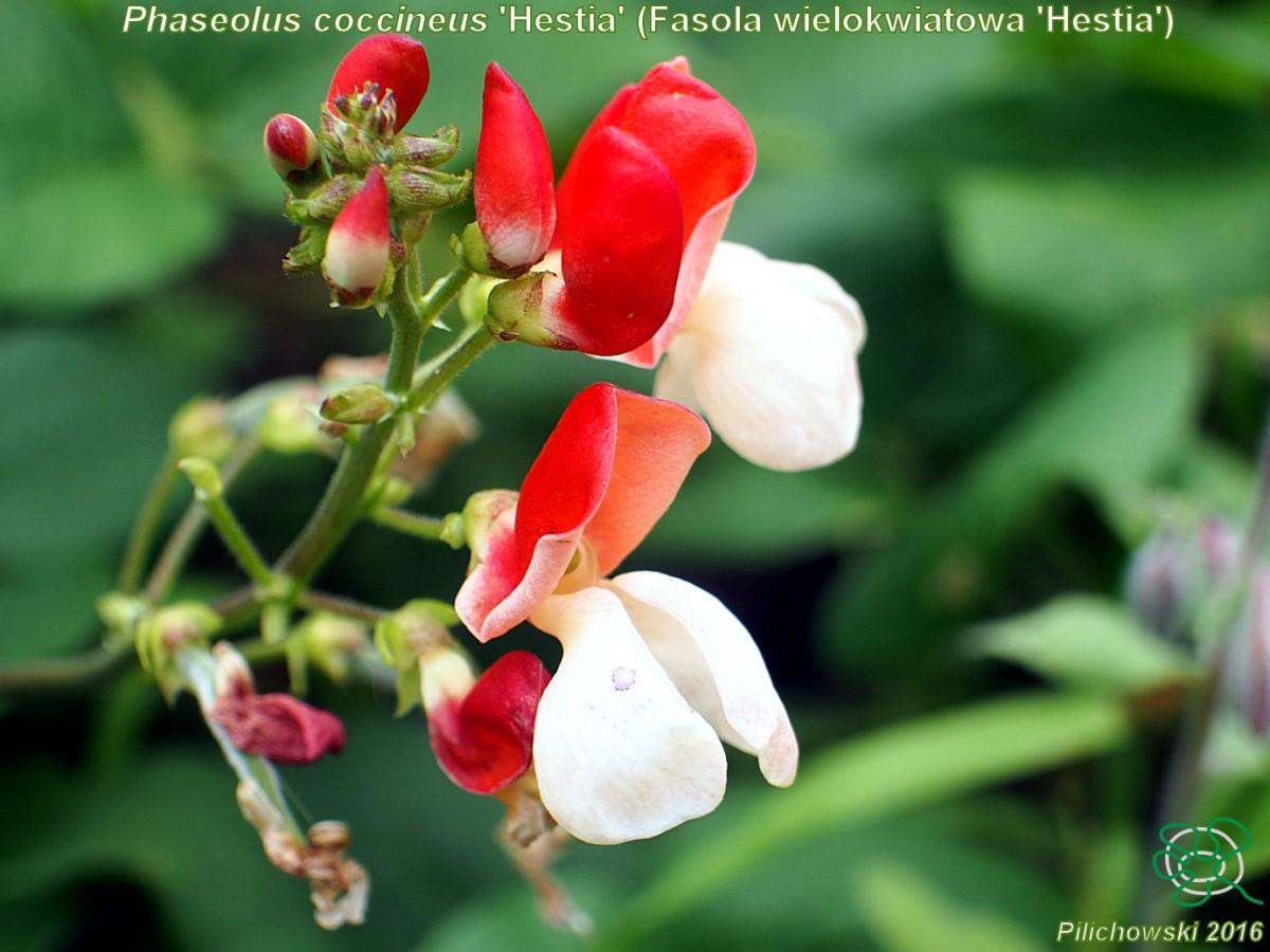 fasola Phaseolus coccineus 'Hestia'