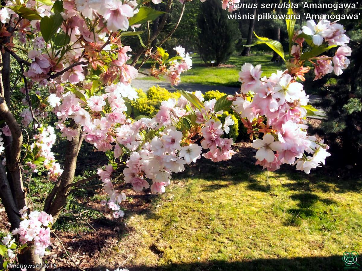 Prunus serrulata 'Ama-no-gawa'